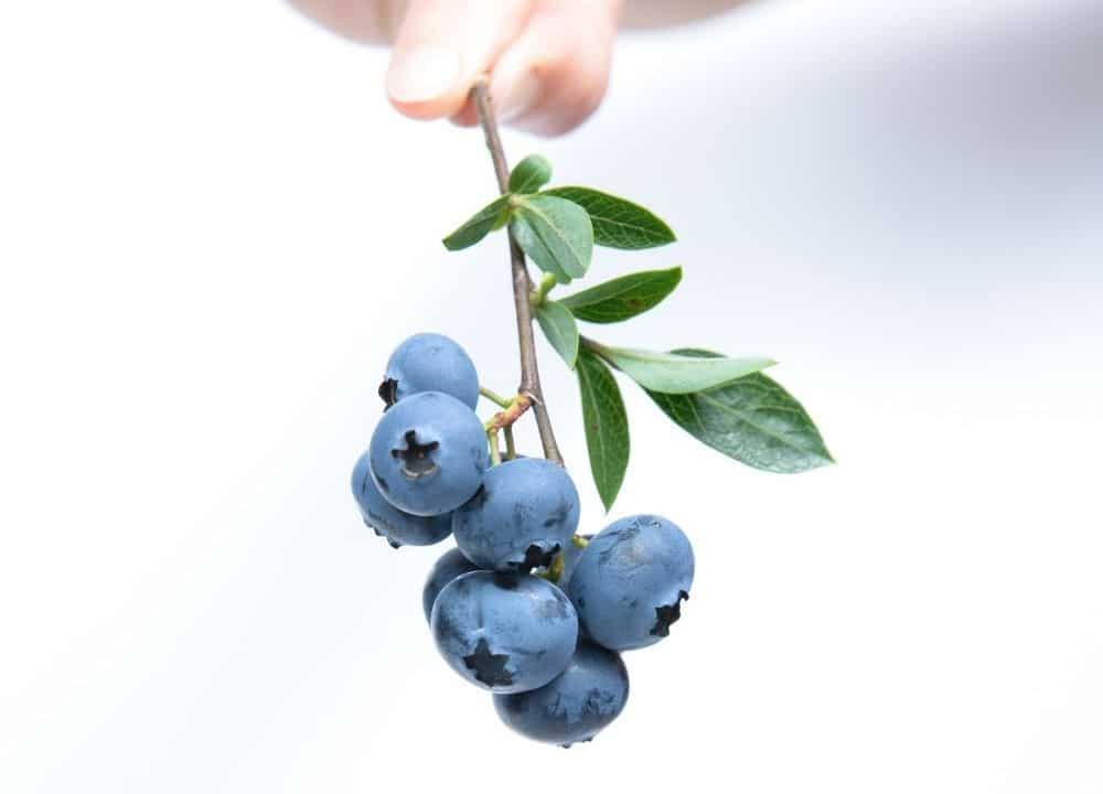 blueberries can boost brain function